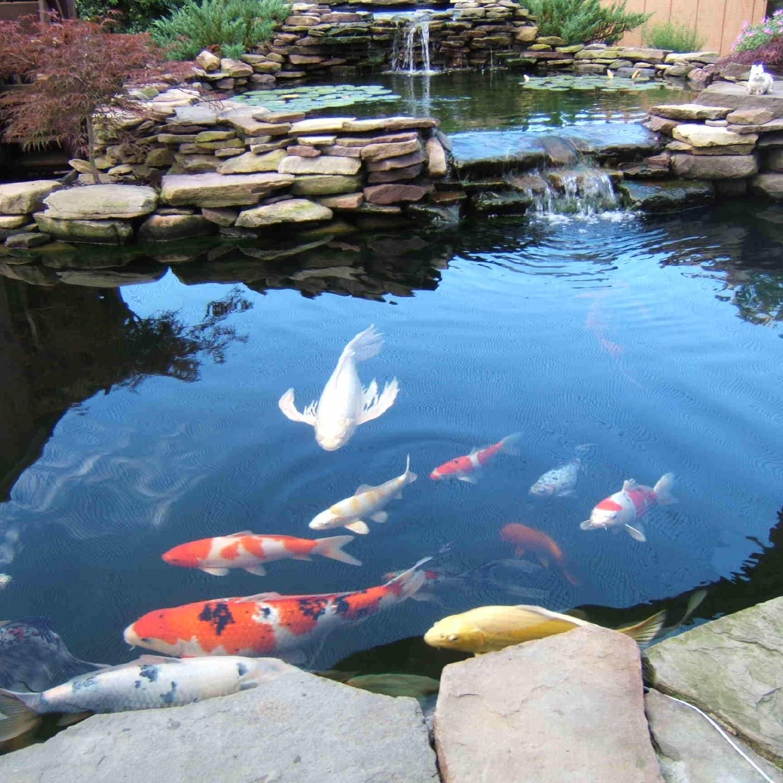 Waterscapes outdoor pond essentials koi care and for Koi fish pond maintenance